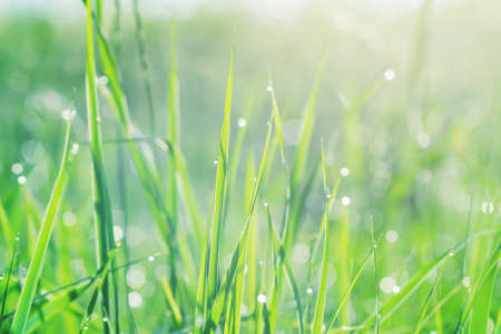Fresh green grass with dew drops in the early morning sunlight, background texture.