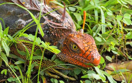 Head iguanas unusual color