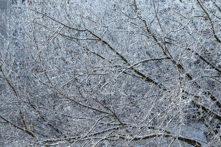 Interlacing or pattern of white snow-covered tree branches. The background or backdrop for Wallpaper. Cold Sunny winter day. Many tree branches in the cold. Fairy tale, chaos and beauty.