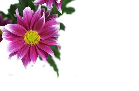 Photo pour Beautiful pink daisy isolated on a white background - image libre de droit