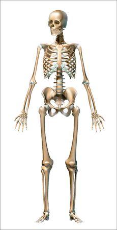 Illustration pour Human skeleton on white background, realistic - Vector Graphics - image libre de droit
