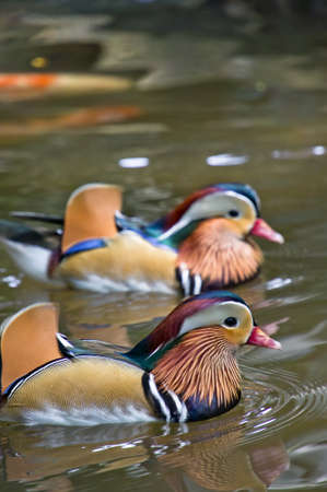 A pair of mandarin ducks swimming in the pond