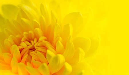 Marco shot of a yellow chrysanthemum with yellow background