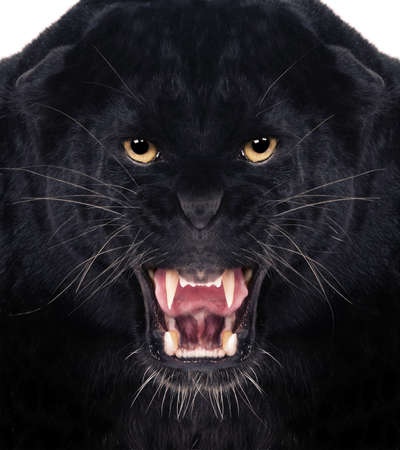 Direct frontal shot of a Black Leopard snarling with isolated background,