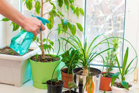 Spraying of indoor plants. Green plants on the windowsill.