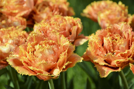 Photo pour Unusual strongly double-flowered and fringed tulip, pale orange or apricot, lit by the sun. In the flowerbed, botanical garden. 'Sensual Touch', Fringed class cultivar - image libre de droit