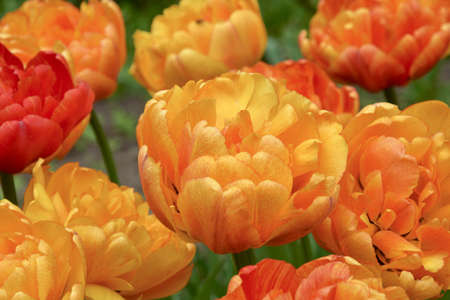 Photo pour Colorful yellow and red strokes tulip in the flowerbed, botanical garden. 'Sun lover', Double Late class cultivar. - image libre de droit