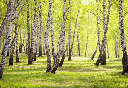 Birchwood Trees In Park Wallpaper Mural