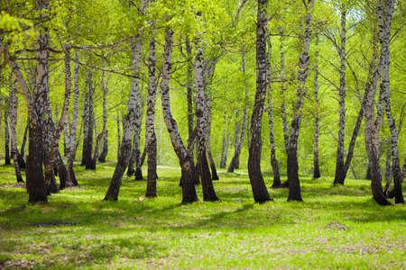 birch forest or park