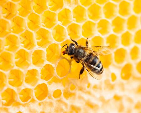 bee working in honeycomb macro shot