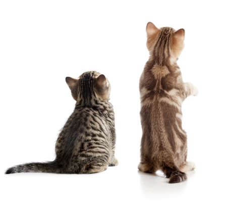 Photo pour Cat back view. Two kittens sitting isolated. - image libre de droit