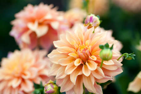 Foto de Dahlia orange and yellow flowers in garden full bloom - Imagen libre de derechos