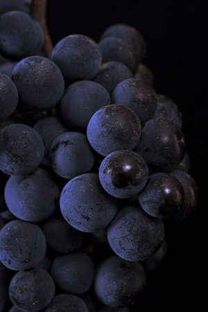 Close up, ripe dark grape berry isolated on black background