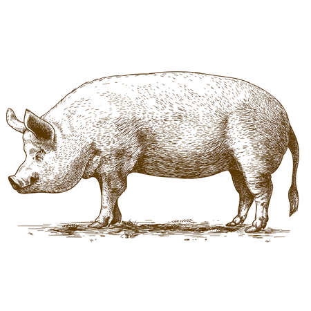 vector illustration of engraving big hog on white backgroundのイラスト素材