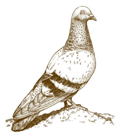 Illustration pour Vector engraving drawing antique illustration of dove isolated on white background - image libre de droit