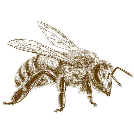 Illustration pour engraving antique illustration of  honey bee isolated on white background - image libre de droit