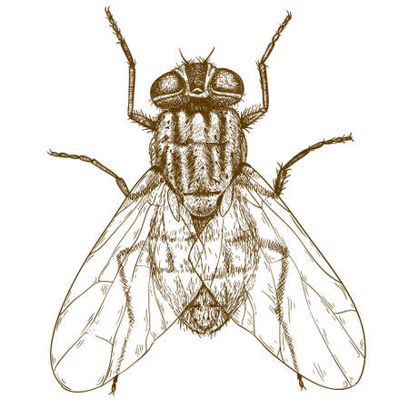 Vector engraving  illustration of  highly detailed hand drawn fly isolated on white background