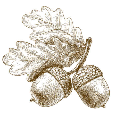 Illustration pour Vector engraving illustration of highly detailed hand drawn acorn isolated on white background - image libre de droit