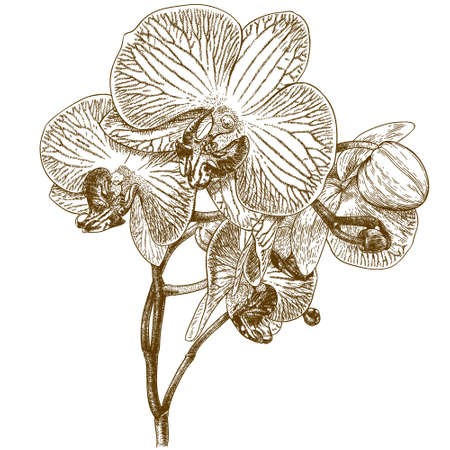 Illustration pour antique engraving illustration of orchid isolated on white background - image libre de droit