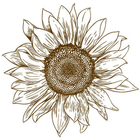 Ilustración de Vector antique engraving drawing illustration of big sunflower isolated on white background - Imagen libre de derechos