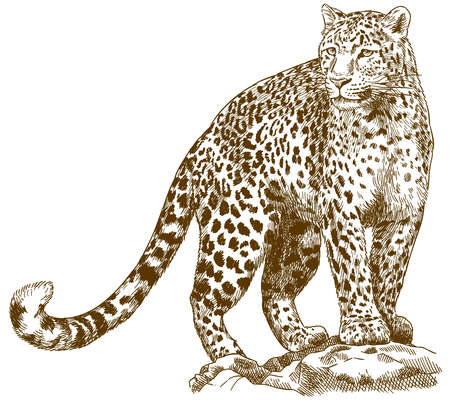 Illustration pour Vector antique engraving drawing illustration of leopard isolated on white background - image libre de droit