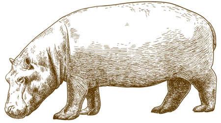 Ilustración de Vector antique engraving drawing illustration of hippo (Hippopotamus amphibius) isolated on white background - Imagen libre de derechos