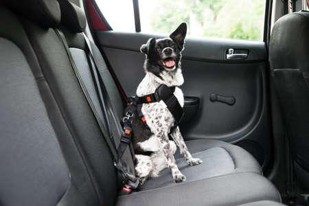 Foto de Dog With Sticking Out Tongue Sitting In A Car Seat - Imagen libre de derechos