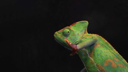 Photo pour Green chameleon isolated on black background with copy space. Selective focus. Wild animals. - image libre de droit