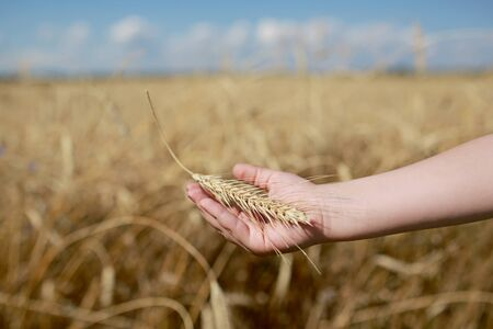 Photo for Children's hand holds a spikelet of wheat on the field, in the countryside. Agriculture. Rich harvest. Horizontal photo. background with wheat field and sky. selective focus - Royalty Free Image