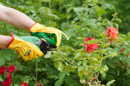 Hands with pruning shears. Rose pruning. Flower gardening.