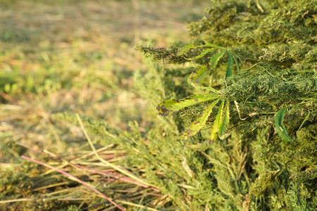 Foto für The hemp stalks are stacked after harvest. industrial hemp cultivation concept. - Lizenzfreies Bild