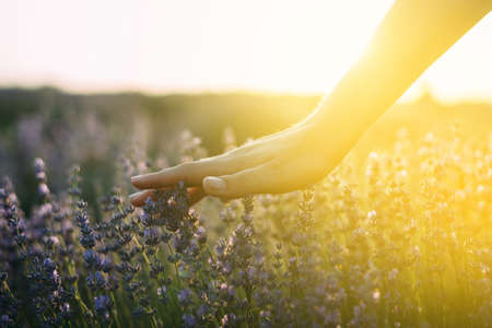 Photo pour Lavender field. female Hand, which touches beautiful lavender, the rays of the sun break through flowering plants, a place for text - image libre de droit