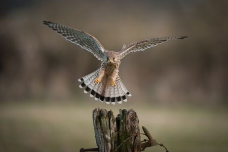 A female Kestrel about to land. Her eyes are fixed upon her chosen landing point.