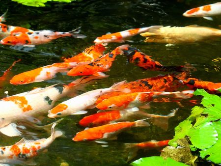 The FengShui Fish Pond for Wealthy