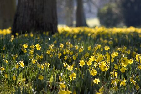 Spring has arrived, daffodils in bloom