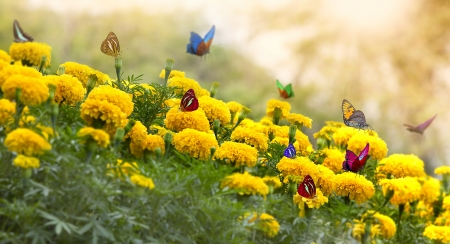 Photo pour Marigold Yellow Flower with butterfly and moring light. - image libre de droit