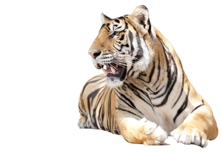 Tiger sit with isolated on white background