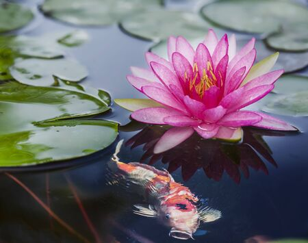 Pink Lotus and Koi