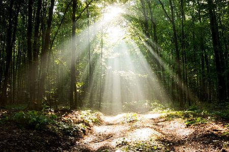 Sun beams pour through trees in misty forest
