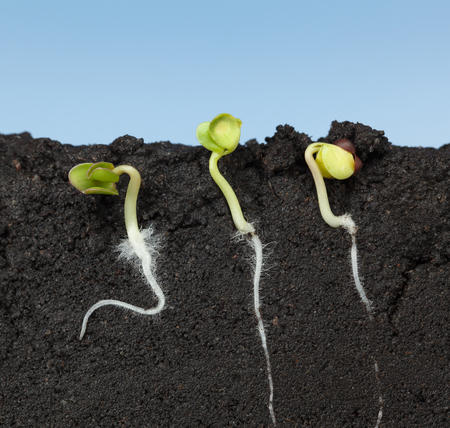 Photo pour Macro of three growing cabbage seeds (Brassica) with first roots and leaves,  side cut view in soil, over blue sky background - image libre de droit