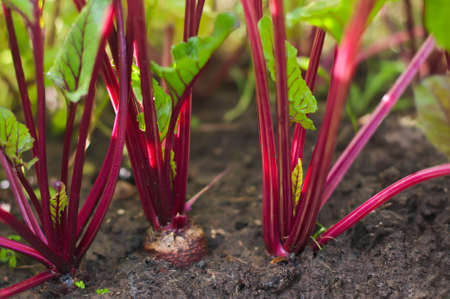 growing beetroot on the vegetable bed.