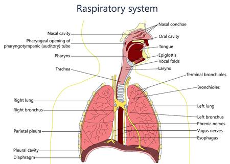 Illustration pour respiratory system diagram. - image libre de droit