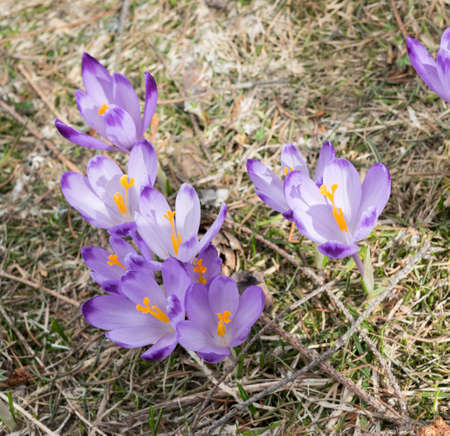 Wild Violet Croci or Crocus Sativus in Early Spring. Alpine Crocuses Blossom in Mountains. Spring landscapeの写真素材
