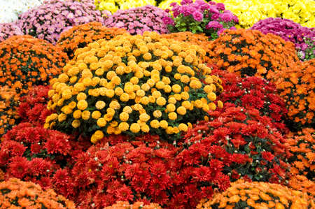 Many colourful chrysanthemum as background