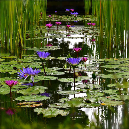 Photo pour A perspective view of a water lily pond with purple and pink lotus flowers. - image libre de droit