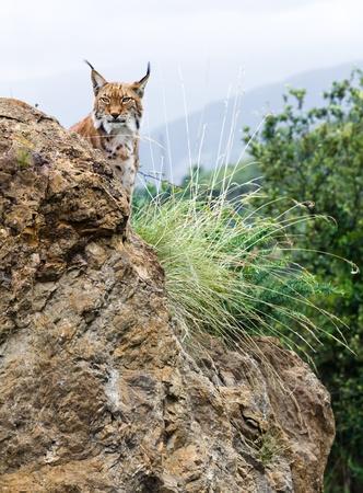A lynx lurking behind a rock