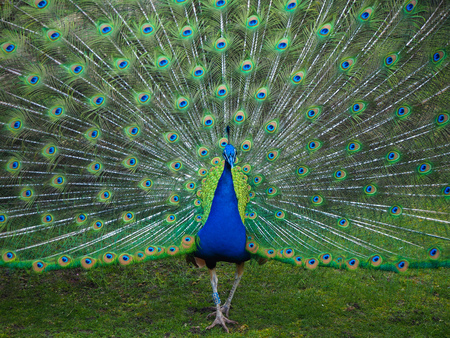 Photo for Male peacock displaying its tail feathers seen from the front - Royalty Free Image