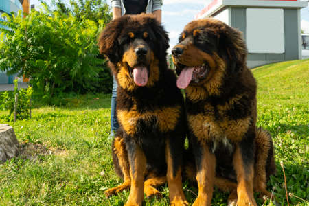 Photo pour A pair of Tibetan Mastiff puppies on a walk on the green grass. Summer evening. - image libre de droit