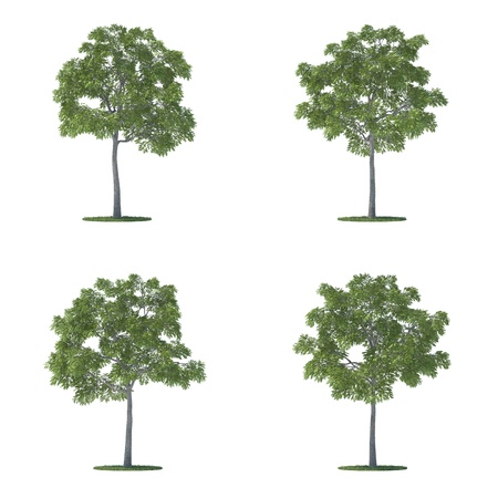 juglans nigra trees collection isolated on white