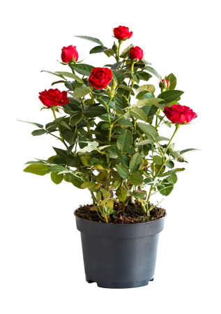 Photo for indoor rose in a flower pot isolated on white background, side view - Royalty Free Image